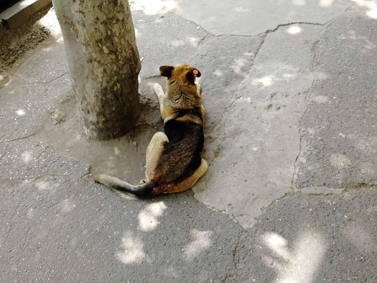 Собак в Тбилиси чипируют